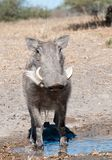 Warthog. Standing in puddle of water Royalty Free Stock Images