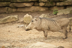 Warthog. Standing warthog in outdoor setting stock photos