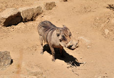 Warthog. Photos libres de droits