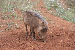 Warthog Royalty Free Stock Images