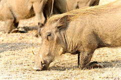 Warthog Stock Photo