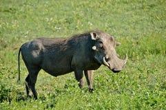 Warthog Image libre de droits