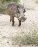 Warthog Στοκ Εικόνες