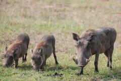 warthog Obraz Stock