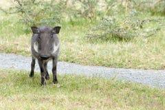 warthog Стоковое Изображение