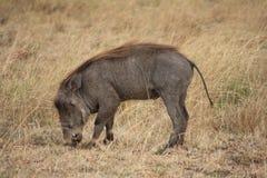 warthog Foto de Stock