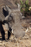 Warthog. A warthog or vlakvark (phacochoerus aethiopicus) grazing in a game park in South Africa Royalty Free Stock Image