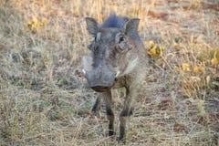warthog Obraz Royalty Free