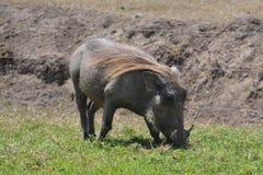 warthog στοκ φωτογραφία