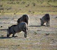 warthog στοκ εικόνες με δικαίωμα ελεύθερης χρήσης