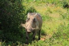 warthog Stock Fotografie