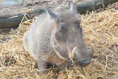 warthog Fotografia de Stock