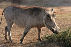 Warthog. An ugly warthog with big tusks feeding on a bush Royalty Free Stock Images