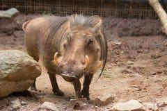 warthog Foto de archivo libre de regalías