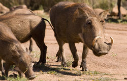 Warthog. Couple of African Warthogs looking for something juice to eat during winter Royalty Free Stock Photos