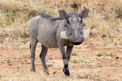 warthog Photo stock