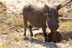warthog Imagem de Stock