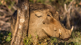 warthog Photographie stock