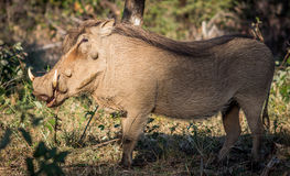 warthog Photo stock