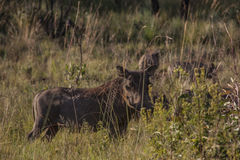 warthog Immagine Stock