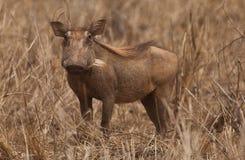warthog Images libres de droits