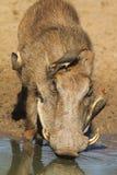 warthog Royaltyfri Foto