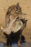warthog Zdjęcie Royalty Free