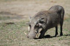 warthog royaltyfri bild