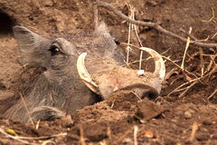 Warthog. Checking if the cost is clear royalty free stock image