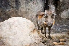 warthog Photos libres de droits