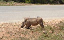 warthog Fotografia de Stock Royalty Free