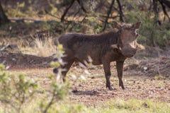 warthog royaltyfri fotografi