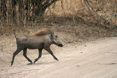 warthog Royaltyfria Bilder