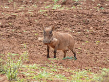 warthog Стоковые Изображения