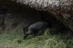 warthog Stock Foto's