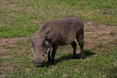 warthog 免版税库存图片