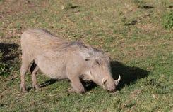 warthog Obrazy Royalty Free