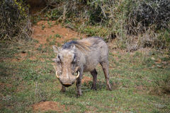 Warthog in Addo Elephant National Park, South Africa. Wild warthog in Addo Elephant National Park, South Africa Stock Image