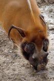 Warthog (aethiopicus de phacochoerus) Photo libre de droits