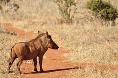 Warthog Africa Royalty Free Stock Photos
