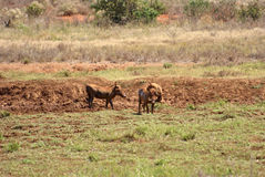 Warthog Africa Stock Image