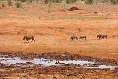 Warthog Africa. A couple of warthogs running around in africa Stock Photo