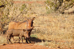 Warthog Africa Royalty Free Stock Photography