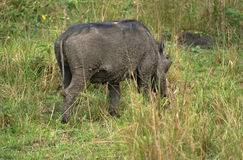Warthog in Africa Royalty Free Stock Images