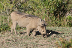 Warthog in Africa Stock Image