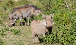 Warthog in Africa. N savana on dry grass at safari game wild nature in Masai Mara, Amboseli, Samburu, Serengeti and Tsavo national parks of Kenya and Tanzania Stock Photos