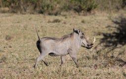 Warthog in Africa wildlife conservation national park. Warthog in Africa game national park at safari wild nature in Masai Mara, Amboseli, Samburu, Serengeti and Stock Photos