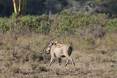 Warthog in Africa game national park. At safari wild nature in Masai Mara, Amboseli, Samburu, Serengeti and Tsavo national parks of Kenya and Tanzania Royalty Free Stock Photography