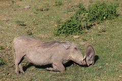 Warthog in Africa game national park. At safari wild nature in Masai Mara, Amboseli, Samburu, Serengeti and Tsavo national parks of Kenya and Tanzania Stock Photo