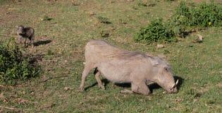 Warthog in Africa game national park. At safari wild nature in Masai Mara, Amboseli, Samburu, Serengeti and Tsavo national parks of Kenya and Tanzania Royalty Free Stock Images